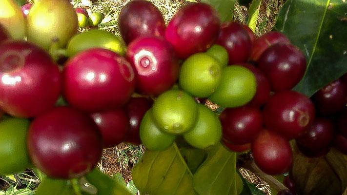 Wonderlijk Specialist in colombiaanse koffiebonen - Bonega Ongebrande Koffiebonen TG-65