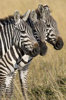 Zebra - Kenia / Maasai Mara