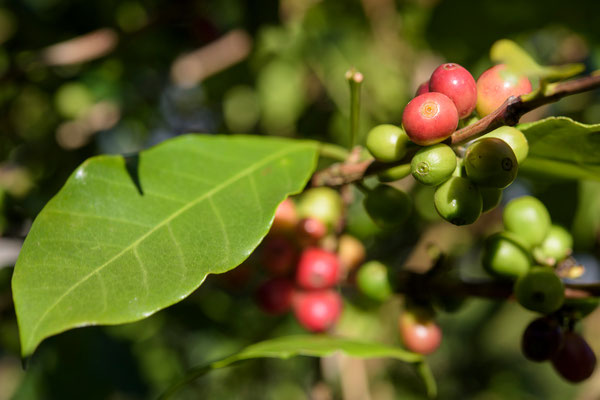 Selva Negra - Coffee