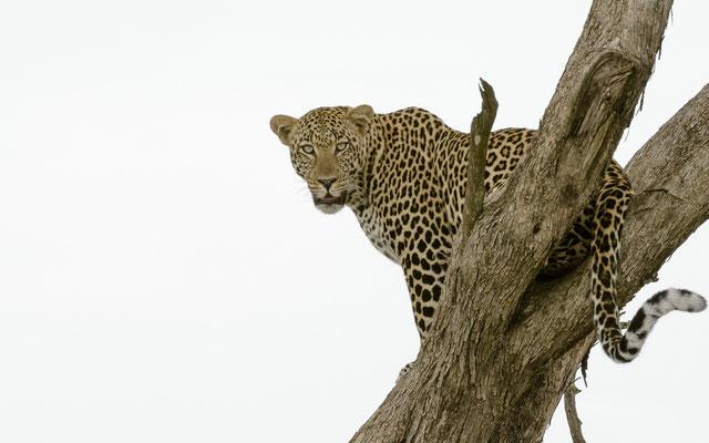 Leopard - Kenia / Maasai Mara