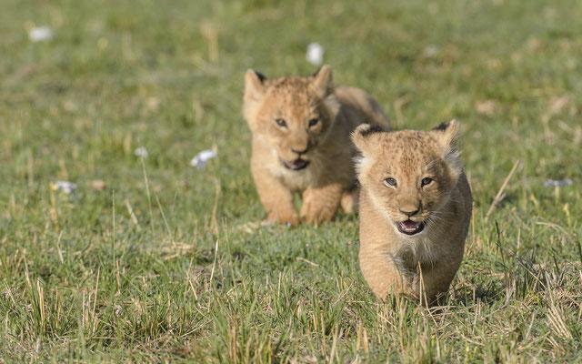 Lion Cubs - Kenia / Maasai Mara