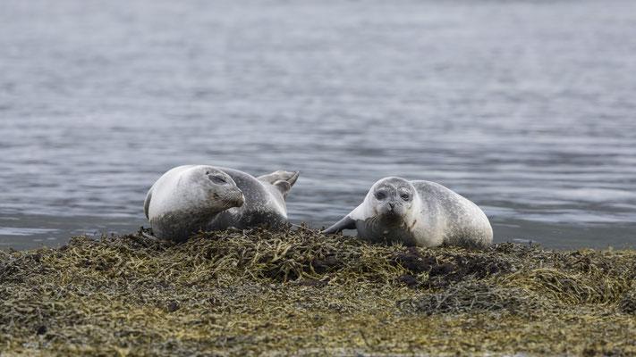 Seals - Westfjord