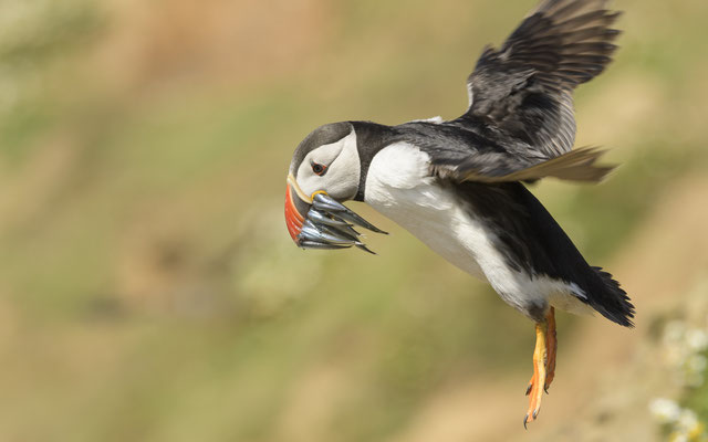 Puffin with fishes