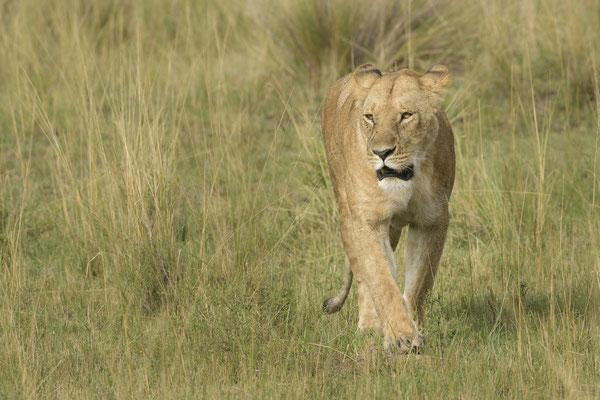 Lioness - Kenia / Maasai Mara