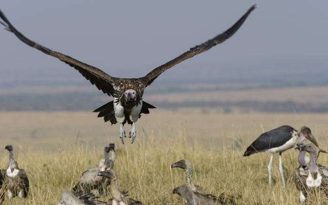 Vultures - Kenia / Maasai Mara