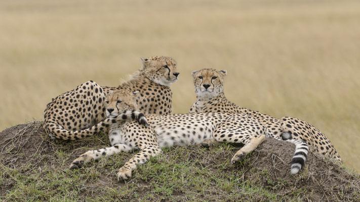 Cheetahs - Kenia / Maasai Mara