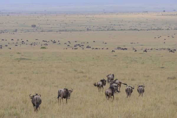 Wildebeest - Kenia / Maasai Mara