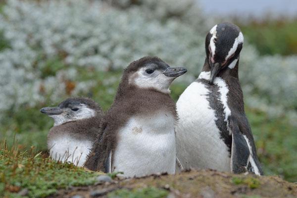 Otway Sound Penguin Colony