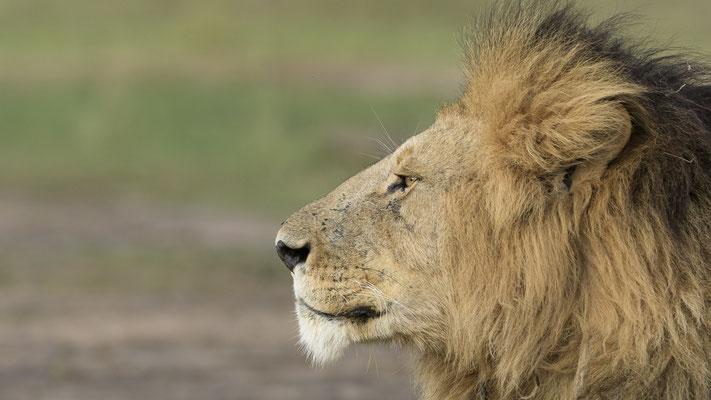 Lion - Kenia / Maasai Mara