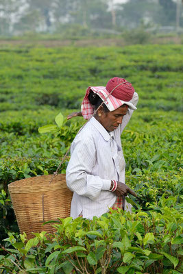 Tea picker in Assam