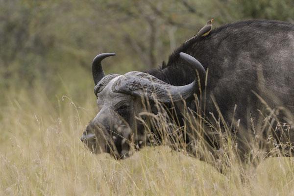 Buffalo - Kenia / Maasai Mara