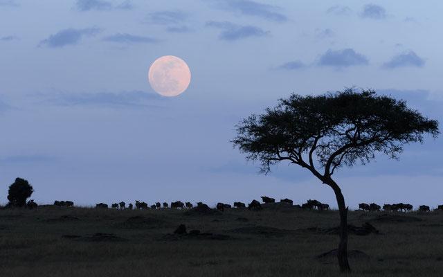 Moonrise - Kenia / Maasai Mara
