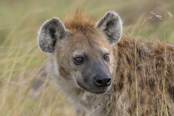 Hyena - Kenia / Maasai Mara