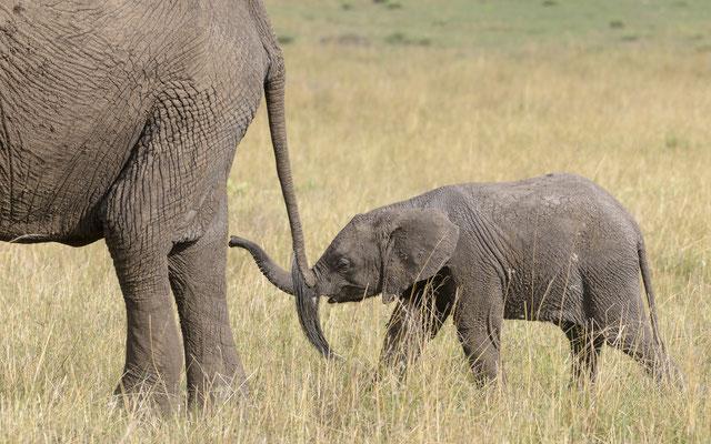 Elephant - Kenia / Maasai Mara