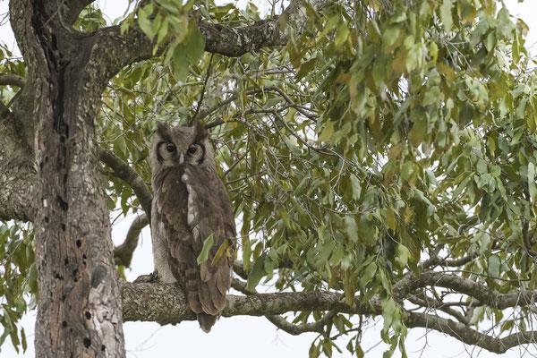 Eagle-Owl - Kenia / Maasai Mara