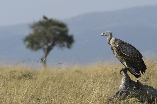 Vulture - Kenia / Maasai Mara