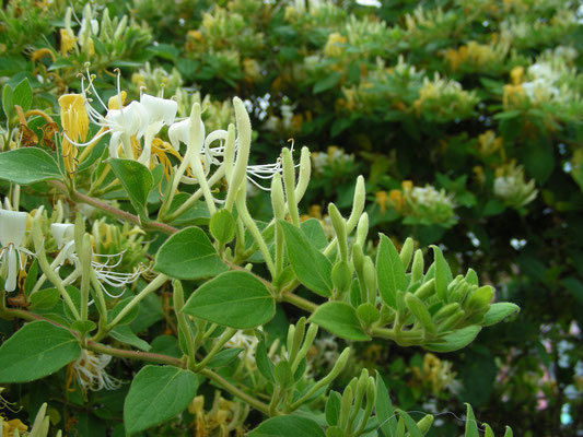 plante locale : chevre feuille
