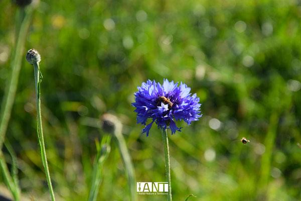 les bleuets sont semés au pieds des vignes pour attirer les pollinisateurs, je plante également des fraisiers et des soucis pour couvrir le sol