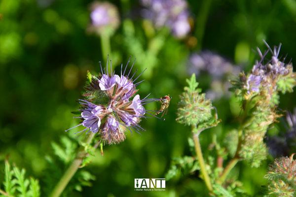 phacélie à feuilles de tanaisie est une annuelle peu exigeante qui a énormément d'utilité au jardin : attire insectes auxiliaires (ici syrphes), engrais vert, ameublissement naturel du sol