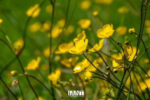 spectacle lumineux des boutons d'or dans la friche herbacée