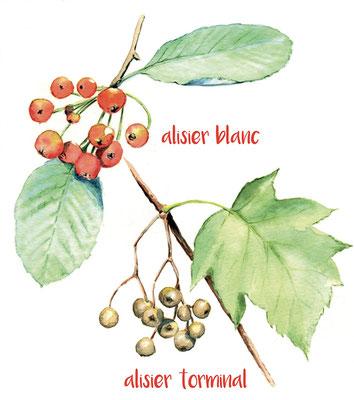 illustration botanique, alisier