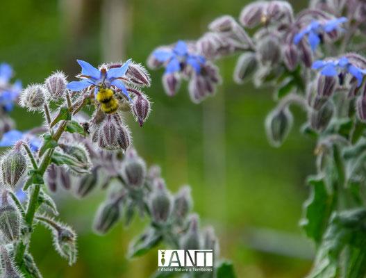 La bourrache est non seulement une plante facile à cultiver, comestible et très appréciée par les abeilles et bourdons !
