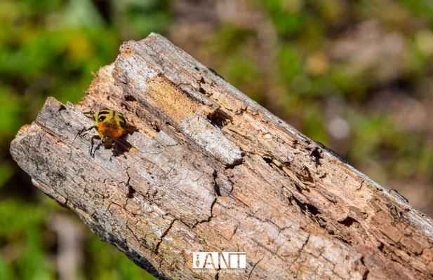 La triche fasciée est un pollinisateur moins connu que les abeilles de la famille des cétoines !