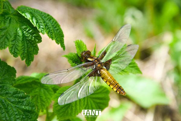libellule déprimée femelle, fraichement sortie de la mare, prédateur des insectes ravageurs du jardin