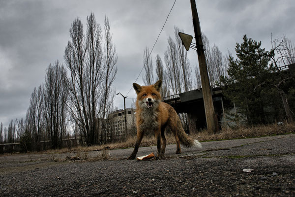 A fox in the main square of Pripyat. Wild animals, thanks to the absence humans, have taken possession of the environment. In the zone now is plenty of wild animals like foxes, wolves, boars and bears. Chernobyl Exclusion Zone.