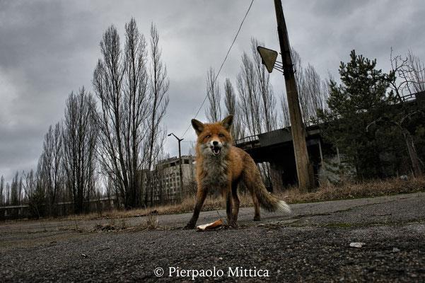 la volpe radioattiva nella piazza principale di Pripyat. Gli animali selvatici, grazie all'assenza degli esseri umani, hanno preso possesso dell'ambiente. Nella zona ora c'è abbondanza di animali selvatici come volpi, lupi, cinghiali, alci e persino orsi