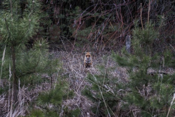 A fox inside the Chernobyl exclusion zone.