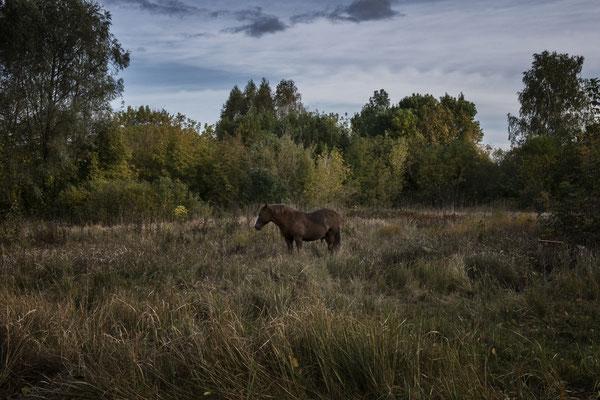 Wild Przewalski horse around the Chernobyl Exclusion Zone.