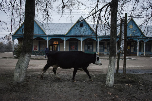 a cow in the village of Radinka