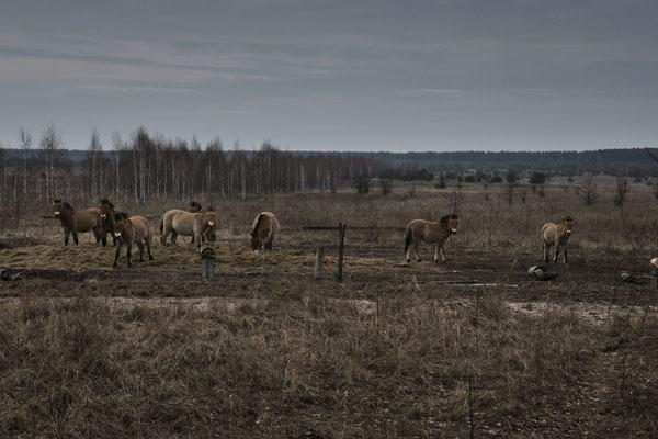 Wild Przewalski horses around the Chernobyl Exclusion Zone.