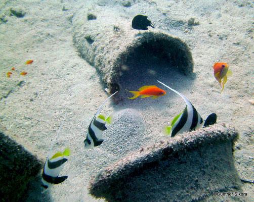 junge Wimpelfische