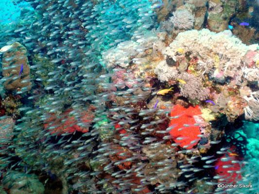 Glasfische in Mengen