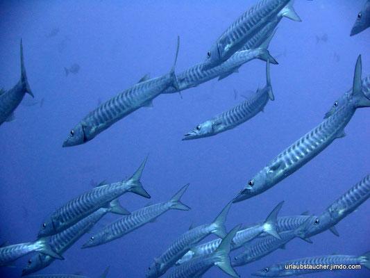 ich hatte noch nie so viele Baracudas in einem Schwarm gesehen.