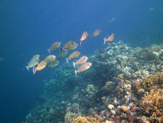 Kurznasendoktorfisch