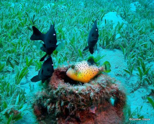 Preußfische