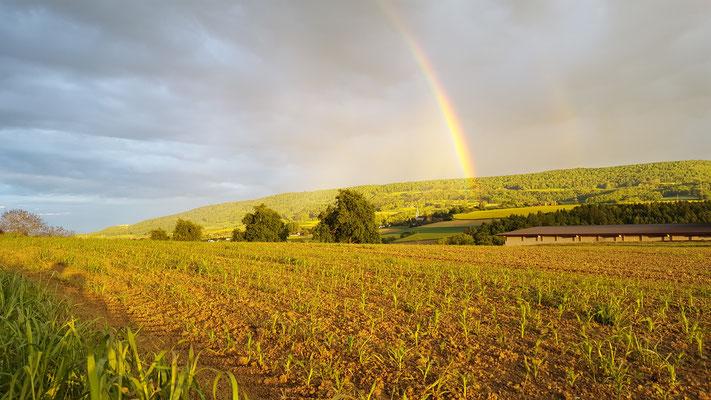 Regenbogen über dem Maisacker