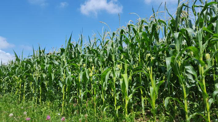 Der Mais im Juli 2016