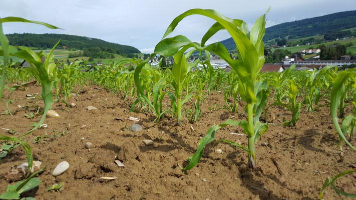 Der Mais Anfang Juni 2016