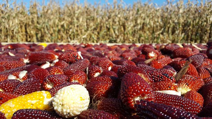 Erdbeermais