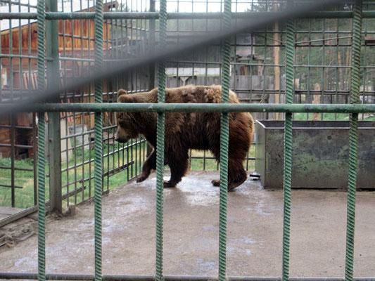 Zoo auf sibirisch, der Bär kommt zwar gerade aus der Badewanne bei 30 Grad