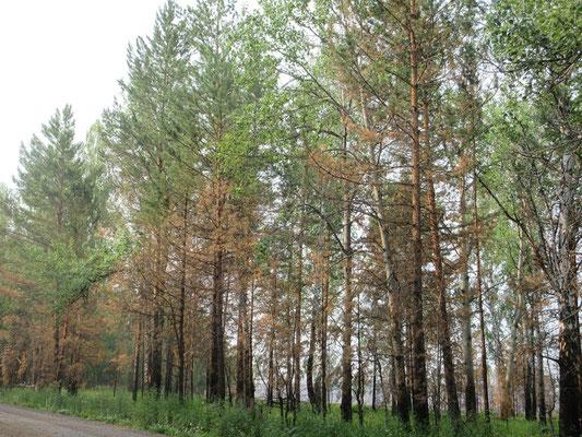 Nach Waldbränden erholt sich der Wald nur langsam