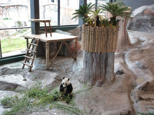 Hungriger Panda im Pandahaus