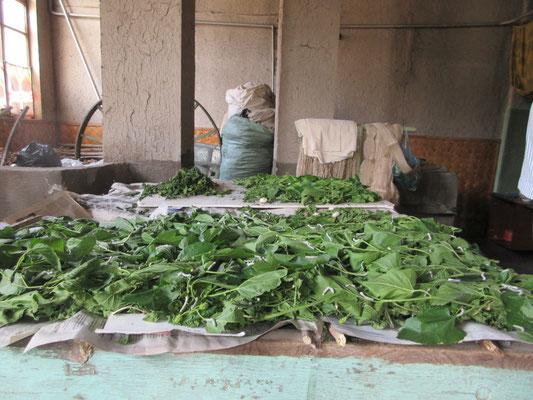 2 Wochen alte Seidenraupen beim Fressen von Maulbeerbaumblättern