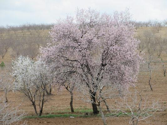 Mitte März blühende Mandelbäume in der Türkei