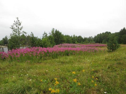 31. Juli 2019 die Blumen blühen, sie begleiten uns auf weiten Strecken, trotz kaltem, regnerischem Wetter