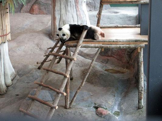 Fauler Panda